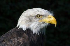 Bird of prey. A bird of prey on a dark background Stock Photo