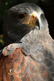Bird of prey. Detailed picture of the head of an eagle stock photos