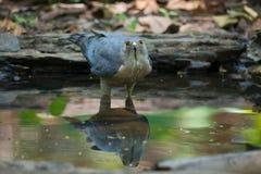 Bird of prey drinking water  keep an eye on hunter. Stock Photo