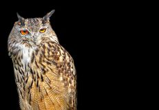 Bird of prey eagle long eared owl birds isolated on black stock photo