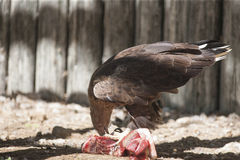 Bird of prey that eat meat Stock Image