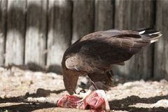 Bird of prey that eat meat Stock Images