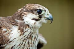 Bird of prey falcon close up. With blurred background Royalty Free Stock Photo