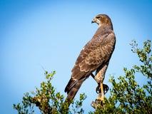 Bird Of Prey, Falcon, Raptor, Bird Stock Photos