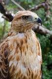 BIRD OF PREY. Of family of hawks - a kurgannik close up. Background with green foliage and branches of trees royalty free stock photos
