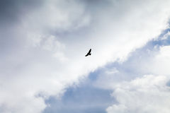 Bird of prey flies into the cloudy sky Royalty Free Stock Images