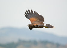 Bird of prey in flight Stock Photography