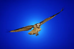Bird Of Prey In Flight Stock Photo