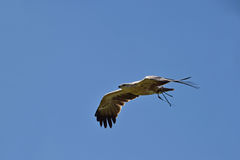 Bird of prey in flight. Large bird of prey in flight at a display with radio transmitter attached Royalty Free Stock Photos