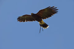 Bird of prey in flight. Large bird of prey in flight at a display with wings outstretched Royalty Free Stock Photo