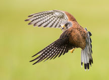 Bird of prey in flight. Male Kestrel ( Falco tinnunculus ) bird of prey in flight Royalty Free Stock Photo
