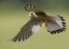 Bird of prey in flight. Male Kestrel ( Falco tinnunculus ) bird of prey in flight Royalty Free Stock Images
