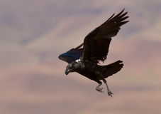 Bird of prey in flight Stock Image
