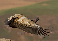 Bird of prey in flight Royalty Free Stock Photography