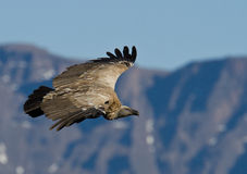 Bird of prey in flight Stock Images