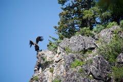 Bird of prey in flight for stalking prey Royalty Free Stock Photos