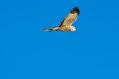 Bird of prey flying in a blue sky Stock Photos