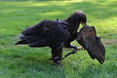 Bird of prey with the glove. Bird holds in its beak a Diani gloves royalty free stock photography