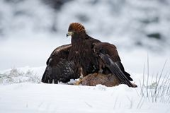 Bird of prey Golden Eagle with kill hare in winter with snow Royalty Free Stock Photos