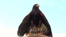 Golden eagle. A bird of prey, golden eagle portrait stock footage