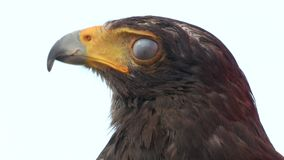 Golden eagle close up. A bird of prey, golden eagle portrait stock video