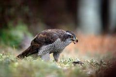 Bird of Prey Goshawk, Accipiter gentilis, feeding kill dark squirrel in the forest Stock Photos