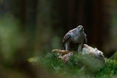 Bird of Prey Goshawk, Accipiter gentilis, feeding kill hare in the forest Stock Photo