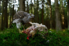 Bird of Prey Goshawk feeding kill hare with blood in forest - photo with wide lens for habitat. Bird of Prey Goshawk feeding kill hare with blood i Stock Images