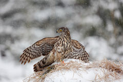 Bird of prey Goshawk kill bird and sitting on the snow meadow with open wings, blurred snowy forest in background Stock Photography
