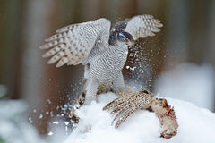 Bird of prey Goshawk kill bird and sitting on the snow meadow with open wings, blurred snowy forest in background. Wildlife scene Stock Photos