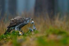 Bird of prey Goshawk kill Eurasian Magpie on the grass in green forest. Wildlife scene from the forest. Goshawk feeding bird in th Royalty Free Stock Photography