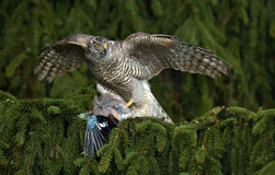 Bird of prey Goshawk kill European Jay on the green spruce tree. Bird of prey Goshawk kill European Jay on the green Royalty Free Stock Image