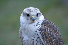 Bird of prey on green background Royalty Free Stock Photo