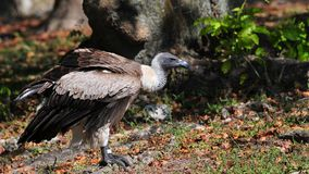 Bird of Prey, Griffon Vulture Stock Photography