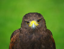 Bird of prey hawk Royalty Free Stock Image