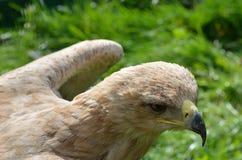 Bird of prey. Head close up of a bird of prey Stock Photo