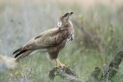 A raptor in his innkeeper royalty free stock photo