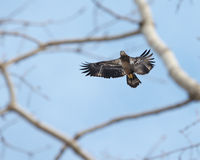 Bird of prey - Juvenile Bald Eagle Royalty Free Stock Photography