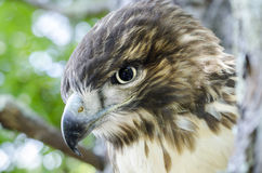 Bird of Prey, Juvenile Red Tailed Hawk profile. Red-tailed Hawk, Buteo jamaicensis, North American Raptor bird of prey. Close up portrailt profile of beak Royalty Free Stock Images