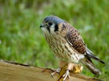 Bird of Prey - Kestrel. A young kestrel standing on a small wooden log Royalty Free Stock Photos