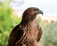 Bird of Prey. Large brown hawk with a light under belly Royalty Free Stock Images