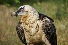 The bird of prey. Menacing beak, eyes, predator Royalty Free Stock Photography