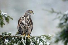 Bird of prey Northern Goshawk Stock Image