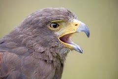 Bird of prey Royalty Free Stock Photography