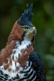 Bird of Prey (Ornate hawk eagle). Bird of Prey in the Amazon Rain Forest, this species is very difficult to observe, they usually perch in the top of the tallest Stock Photography