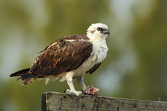 Bird of prey Osprey, Pandion haliaetus, feeding catch fish, Belize Stock Photos