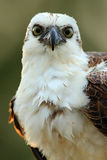Bird of prey Osprey, Pandion haliaetus, feeding catch fish, Belize. Detail face portrait of osprey in evening light. Bird big eye, Stock Image