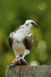 Bird of prey Osprey, Pandion haliaetus, feeding catch fish, Belize Royalty Free Stock Image
