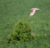 Bird of prey over the field Royalty Free Stock Images