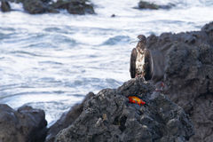 Bird of Prey Perched over Crab. As he looks for his meal, there is one waiting just out of sight Stock Photography